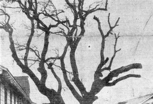 Survey Report, The Old Powhatan Oak, 1937 October 18, Research made by Daisy Lawrence, Computer file: 1999, 2 image files, Library of Virginia, Richmond, Virginia.