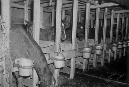 View of Army Horses in Stalls in Hatch #5 on the Liberty Ship [picture], U.S. Army Signal Corps Photograph Collection, Computer file, 1995, Library of Virginia, Richmond, Virginia.